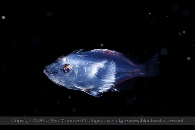 フサカサゴ科(Scorpaenidae)の稚魚
