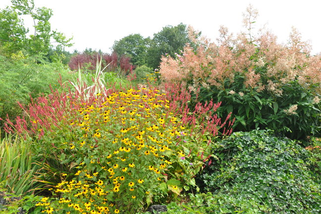 Three dogs in a garden a visit to grange hollow nursery mountain fleeceflower persicaria red flower brown eyed susan rudbeckia triloba yellow flowers in the centre and giant fleece flower mightylinksfo