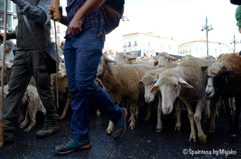 Fiesta de la Trashumancia Madrid  マドリードのソル広場で牛飼いの後ろを行儀よく歩く羊たち