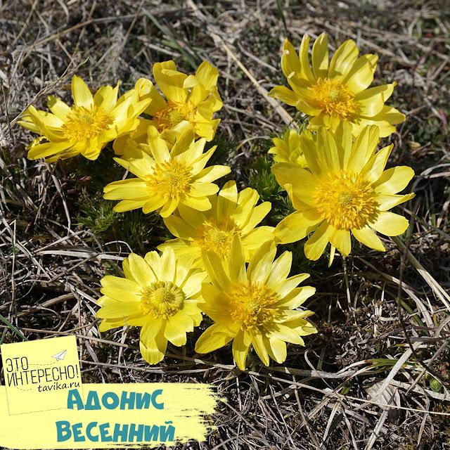 адонис весенний - крымский первоцвет