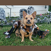 Pet Krewe Halloween Dog Spider Costume Review