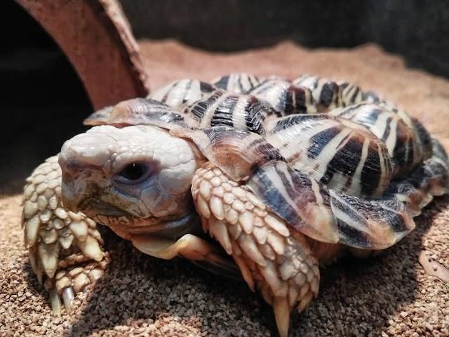 Rùa Pancake - Pancake Tortoise
