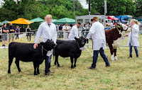 welsh beef cattle