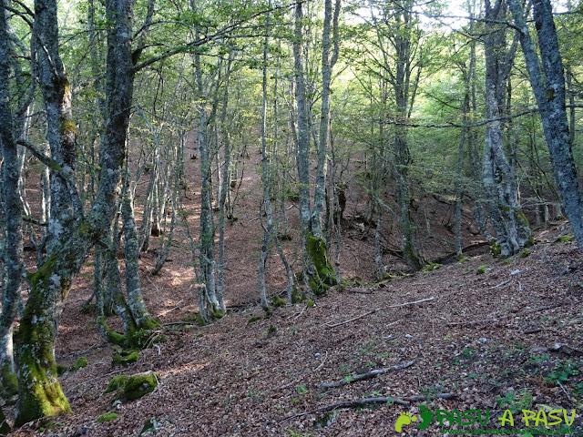 Ruta Torre Bermeja: Bosque de Hayas