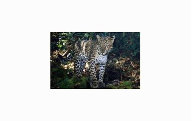 Macan Kumbang (Java Leopard)