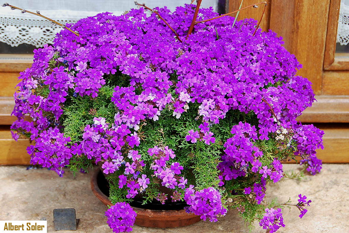 Fotos de flores - Planta verbena cuidados ...