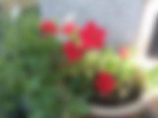 Picture of red flowers, all blurred, like how I see them