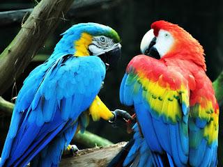 Araras Canindé e Vermelha no Parque Zoológico de Sapucaia