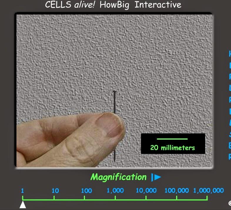 http://www.cellsalive.com/swf/howbig.swf