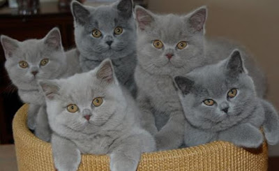Kucing Jenis British Shorthair