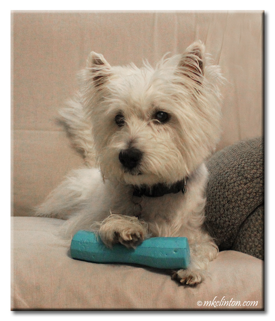 Pierre has staked his claim on the goDog Vexo Jr dog toy