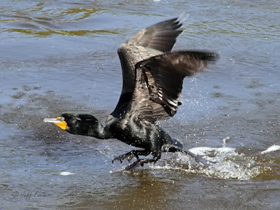Double-crested Cormorant in Flight