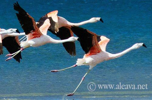 Danza de Flamencos en la Isla de los Pájaros