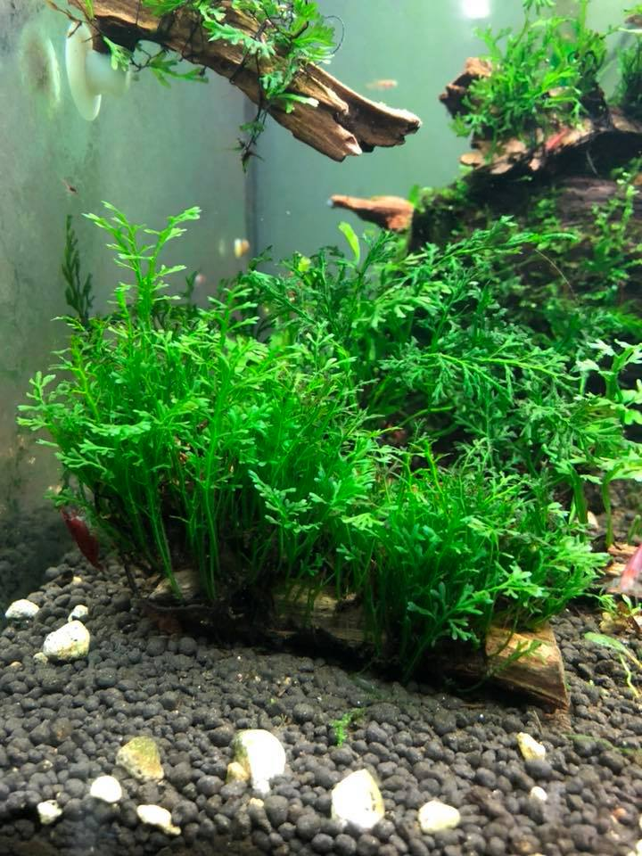 Cây thủy sinh dương xỉ lá nho trong hồ của anh Trung King