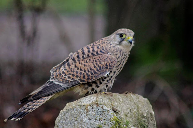 Buy wallart of Kestrel