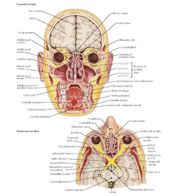 Paranasal Sinuses: Coronal and Transverse Sections ANATOMY