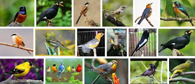 Kisaran Daftar Harga Burung Kicau Paling Baru 2017 Saat Ini Terlengkap