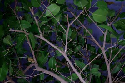 korona drzewka
