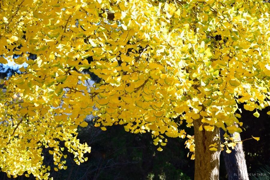 hojas amarillas en el arbol de Ginkgo biloba