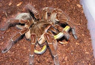 https://bio-orbis.blogspot.com/2014/05/aranha-golias.html