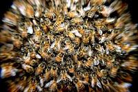 Sengatan Lebah Yang Bermanfaat