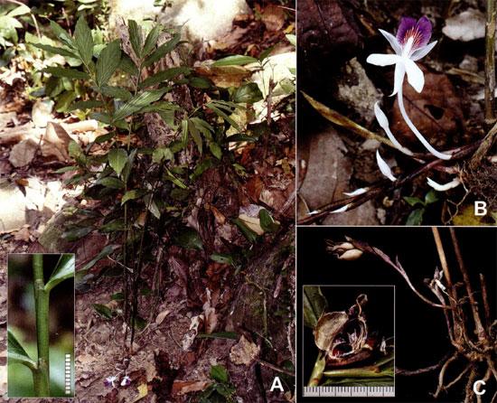 Newmania serpens