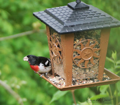 male rose-breasted grosbeak on feeder