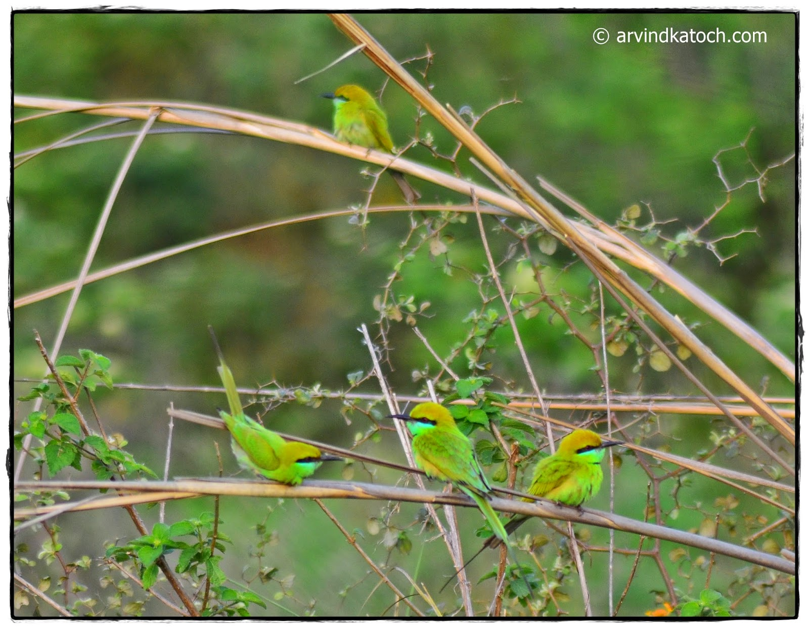 Green Bee-eater, Birds, Bee-eater