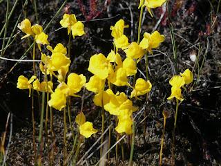 Utriculaire cornue - Utricularia cornuta