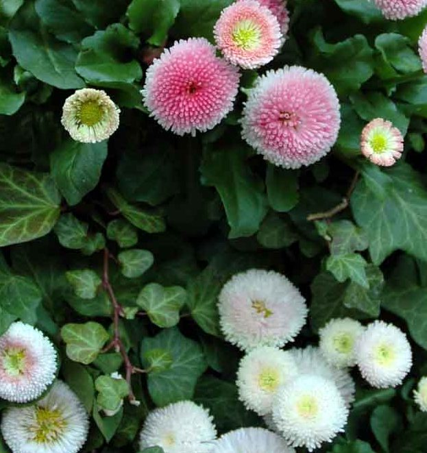 Different Types Of Flowers: Daisy Flowers: Types And Uses Of Daisies
