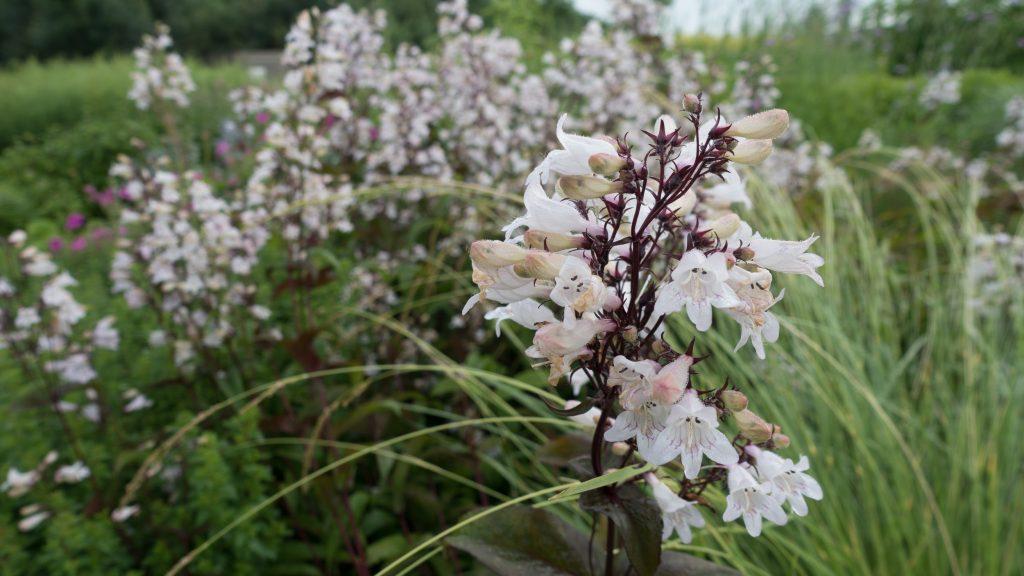 flores blancas de penstemon