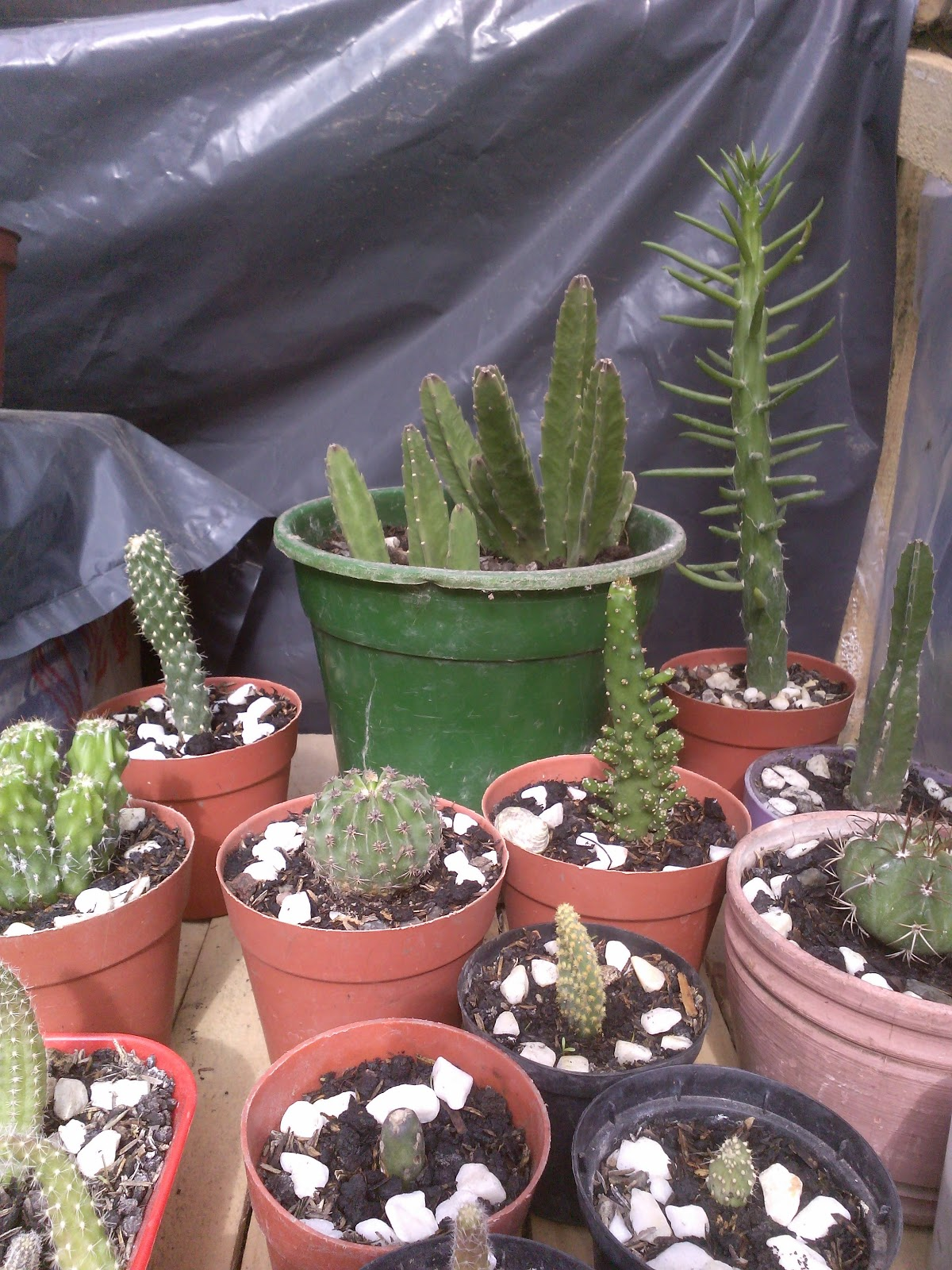 Bienvenidos a mi blogs de cactus suculentas y otras for Suculentas por mayor