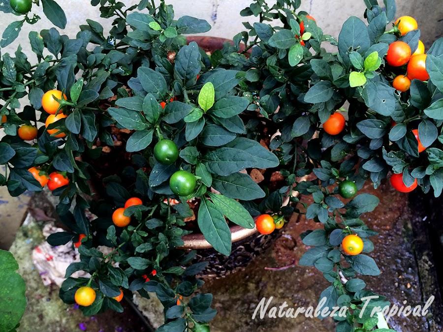 Vista superior de la planta Cereza de Jerusalén, Solanum pseudocapsicum