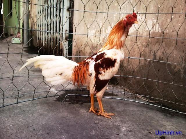 Cách chọn gà chọi hay qua 13 màu lông
