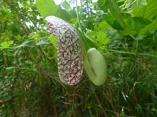 Aristoloche élégante - Aristolochia littoralis - Aristolochia elegans
