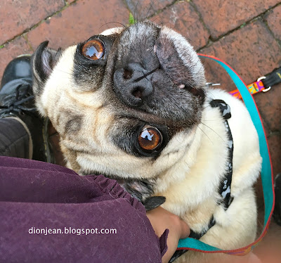 Liam the pug looking up adoringly