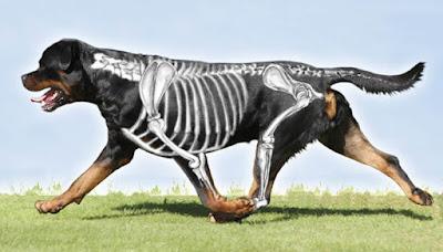 Rottweiler's Anatomy