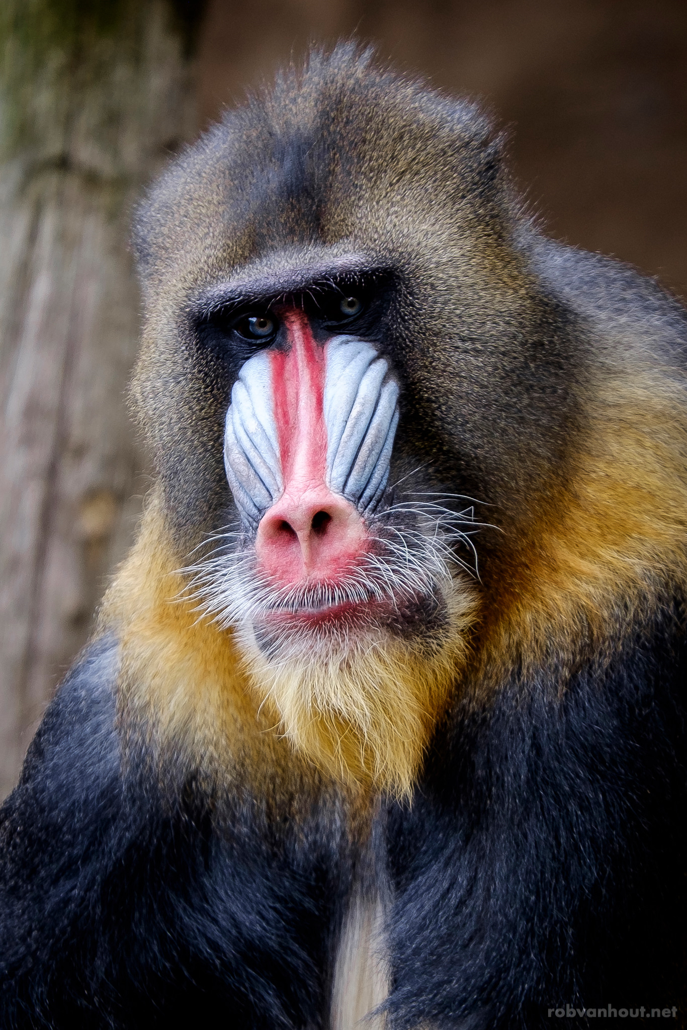 Mandrill — Ouwehands Zoo