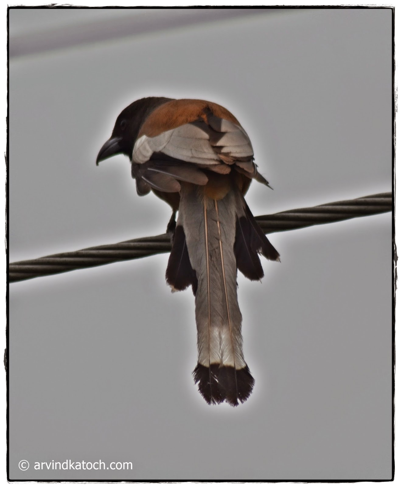 Rufous Treepie, Long Tail