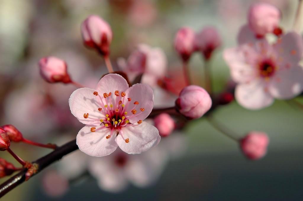 Cherry blossoms com online dating site