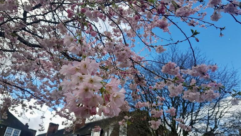 路上的櫻花?