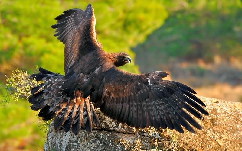 El águila real es una especie de ave accipitriforme de la familia Accipitridae. Es una de las aves de presa más conocidas y ampliamente distribuidas de la Tierra. Su área de distribución abarca gran parte de América del Norte, Eurasia y el norte de África.