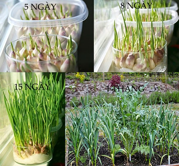 Tỏi cách trồng rau sạch tại nhà