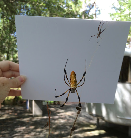 Can I knit spider silk? (Trigger Warning: Photo of Giant Spider)