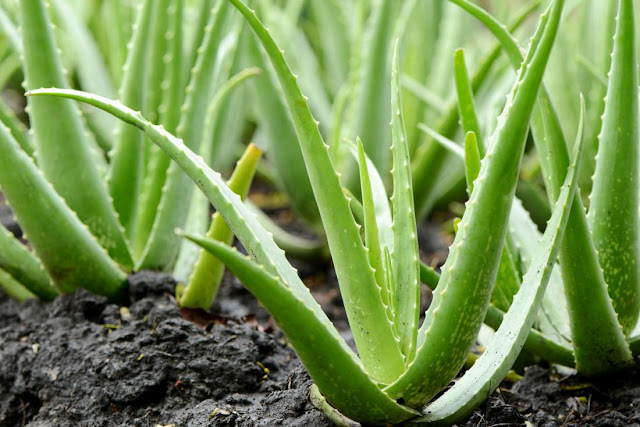 एलोवेरा , aloevera, aloevera cultivation, aloevera cultivation in inida, aloevera cutlivation in rajasthan, aloevera cost fo cultivation, aloevera agriculture, aloevera use, aloevera profit