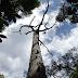 MORTALIDADE DE ÁRVORES DA AMAZÔNIA ACONTECE EM MESES CHUVOSOS MESMO EM ANO DE SECA