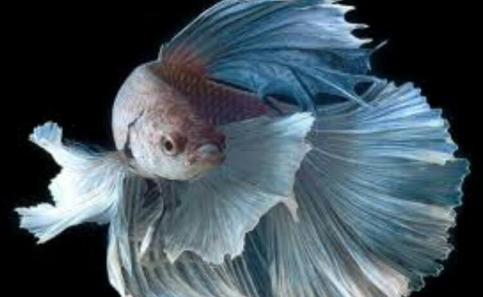 Berbagai Macam Dan Jenis Ikan Cupang