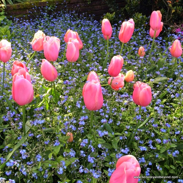 giant pink tulips in bloom at Filoli in Woodside, California