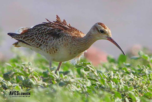 http://www.aveslombok.com/2016/09/gajahan-kecil-little-curlew-numenius-minutus.html