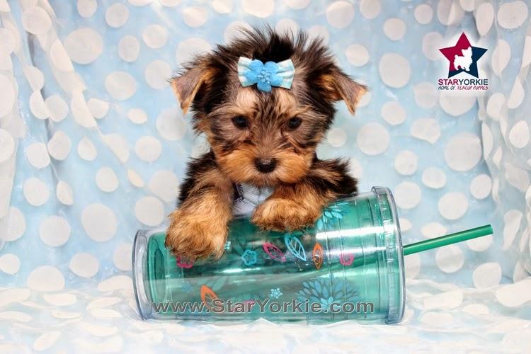10 Cutest Yorkie Puppies : 10 Cutest Yorkie Puppies in The